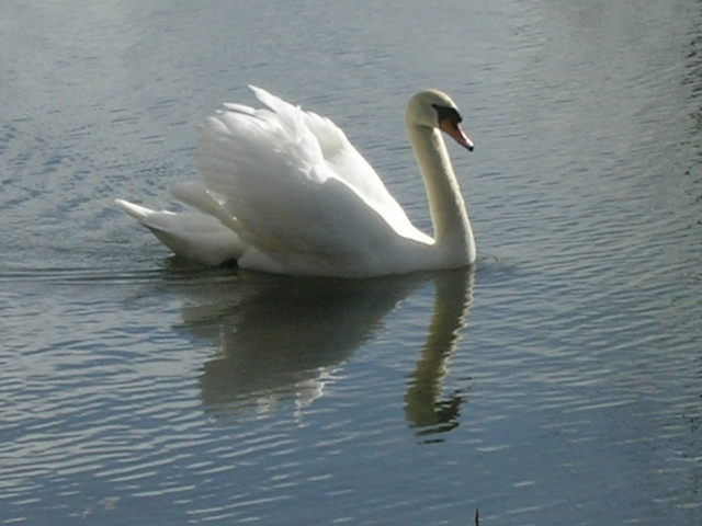 Swan photographed in Buckland
