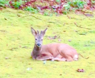 Roe Deer photographed in Buckland