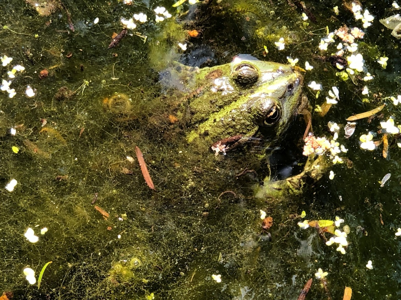 Marsh Frog photographed in Buckland