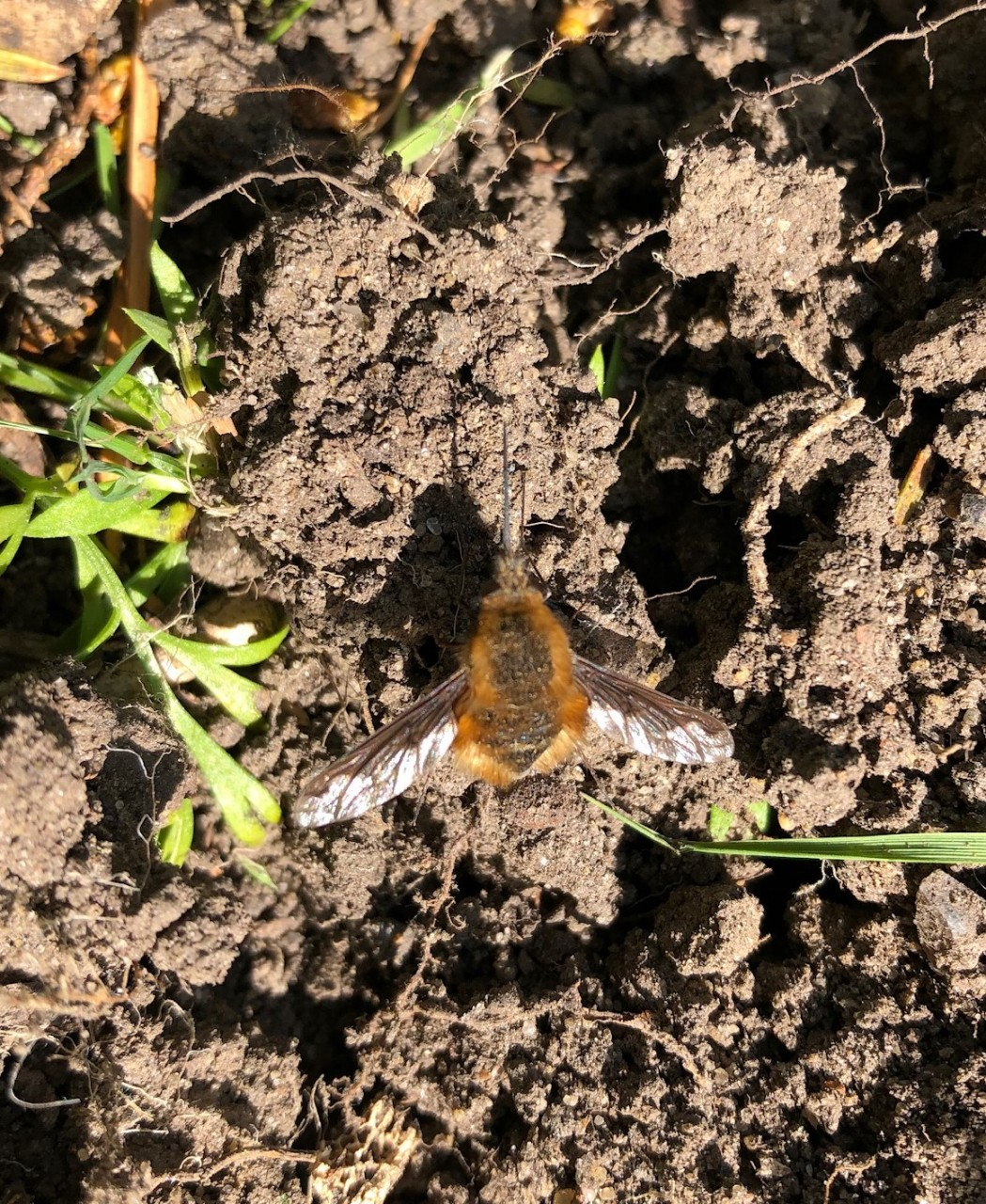 Bee fly photographed in Buckland
