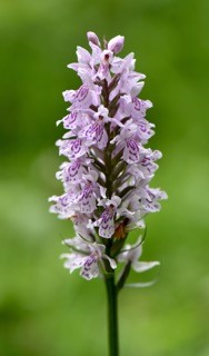 Common Spotted Orchid photographed in Buckland