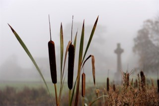 Great Reedmace photographed in Buckland