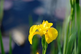 Flag Iris photographed in Buckland