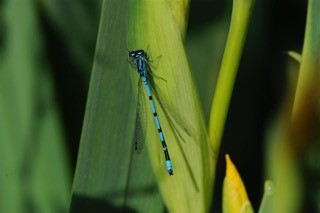 Damselfly photograph taken in Buckland