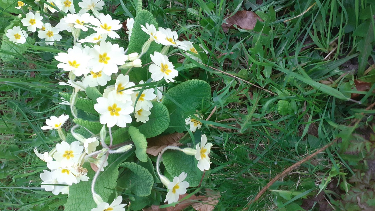 Primrose photographed in Buckland