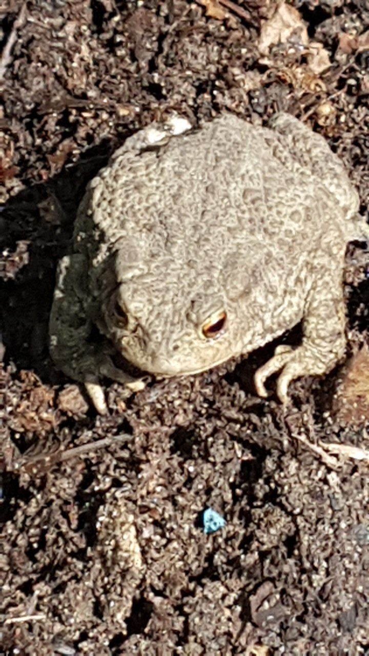 Toad photographed in Buckland